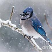 Christmas Card Bluejay Art Print