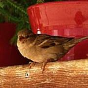 Christmas Finch Art Print