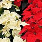 Christmas Poinsettia's Art Print