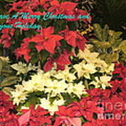 Christmas Poinsettias  Art Print