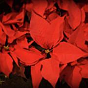 Christmas Poinsettias Art Print