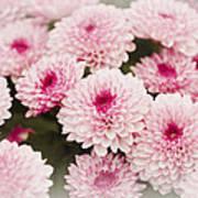 Chrysantemum Pink Art Print