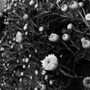 Chrysanthemes Original Art Print