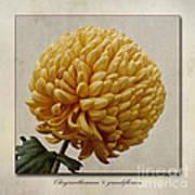 Chrysanthemum Grandiflorum Yellow Print by John Edwards