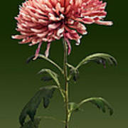 Chrysanthemum Shelbers Art Print