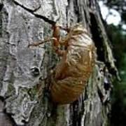 Cicada Bug Shell Nc Usa 2013 Art Print