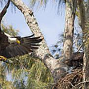 Bald Eagle Nest Art Print