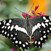 Citrus Swallowtail Butterfly  Art Print