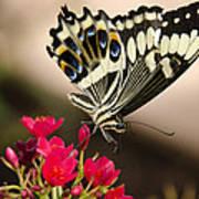 Citrus Swallowtail  Art Print