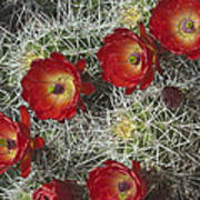 Claret Cactus - Vertical Print by Gregory Scott