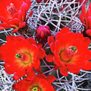Claretcup Cactus Blooms Art Print