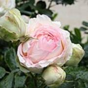 Classic Rose Art Print