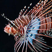 Clearfin Lionfish Art Print