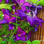 Clematis On The Fence-2014 Art Print