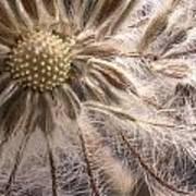 Clematis Seedpod Close Up Art Print