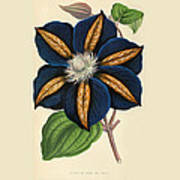 Clematis Star Of India Art Print