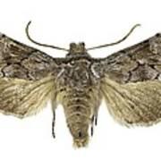 Cleonymia Yvanii Moth Art Print