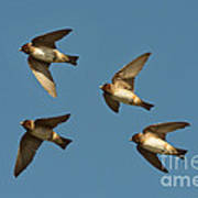 Cliff Swallows Flying Art Print