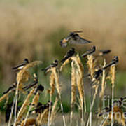 Cliff Swallows Perched On Grasses Art Print