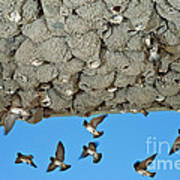 Cliff Swallows Returning To Nests Art Print