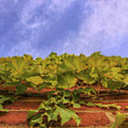 Climbing The Walls - Ivy - Vines - Brick Wall Art Print