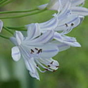 Close Up - African Lily Art Print