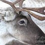 Close-up Caribou Reindeer Art Print