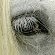Close-up Details Of Gypsy Vanner Horse Art Print
