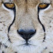 Close-up Of A Cheetah Acinonyx Jubatus Art Print
