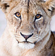 Close-up Of A Lioness Panthera Leo Art Print