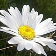 Close Up Of A Margarite Daisy Flower Art Print