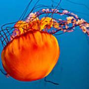 Close Up Of A Sea Nettle Jellyfis Art Print