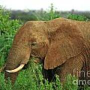 Close Up Of African Elephant Art Print