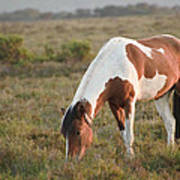 Close Up Of Brown And White New Forest Pony Horse At Sunrise In  Art Print