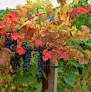 Close-up Of Cabernet Sauvignon Grapes Art Print