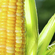 Close-up Of Corn An Ear Of Corn  Print by Sandra Cunningham