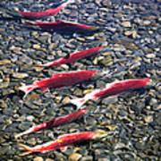 Close-up Of Fish In Water, Sockeye Art Print