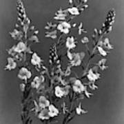 Close Up Of Gentian Speedwell Flowers Art Print