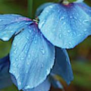 Close-up Of Himalayan Poppy Flowers Art Print