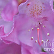 Close Up Of Inside Of Rhododendron Flower  Art Print