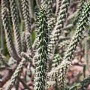 Close Up Of Long Cactus With Long Thorns  Art Print