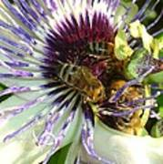 Close Up Of Passion Flower With Honey Bee  Art Print