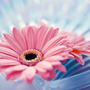 Close Up Of Two Pink Gerbera Daisies Art Print