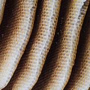 Close-up Of Wild Honey Bee Combs Art Print