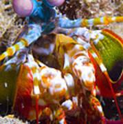 Close-up View Of A Mantis Shrimp Art Print