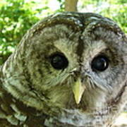 Closeup Of A Barred Owl Art Print