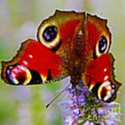 Closeup Of An European Peacock Butterfly  Art Print