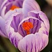Closeup Striped Purple Crocus Vernus Art Print