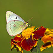 Clouded Sulphur Butterfly Art Print