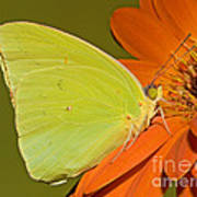 Cloudless Sulphur Butterfly Art Print